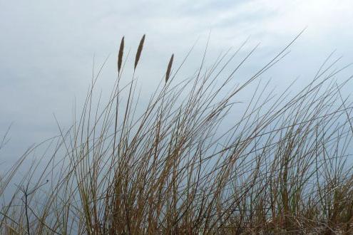 Strandgras auf der Insel Rügen